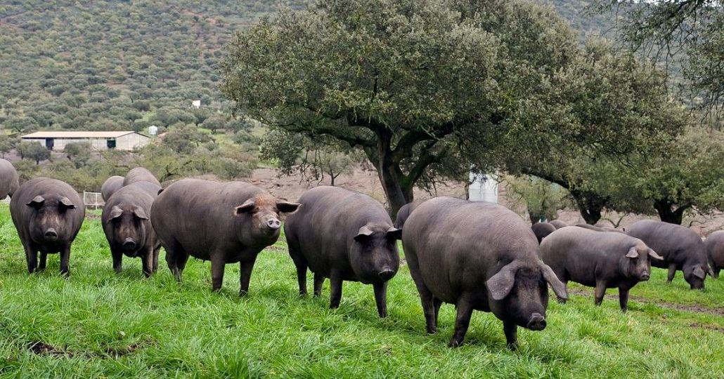 Schweineherde-1030x687