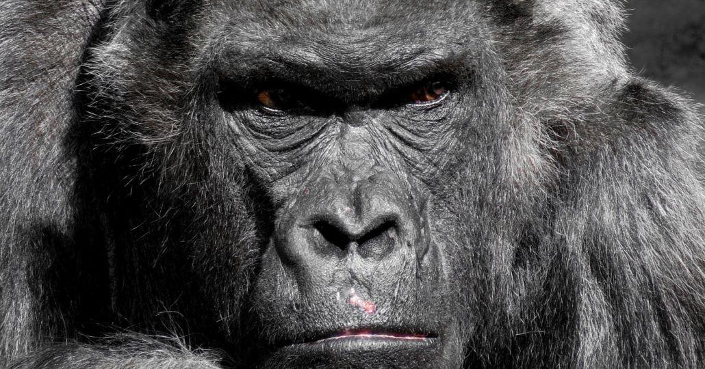 gorilla-752875_1920-1030x730